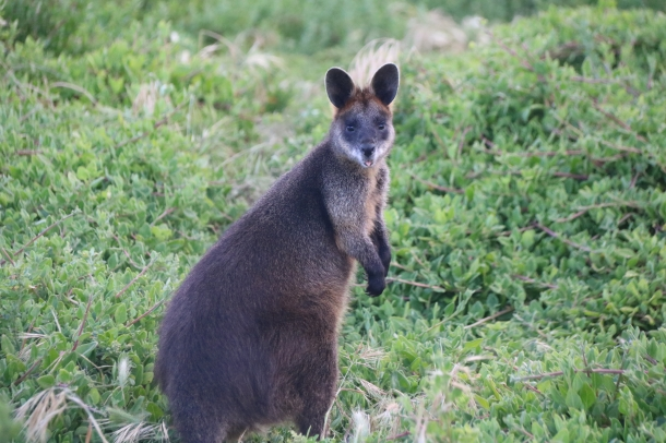 A black wallaby